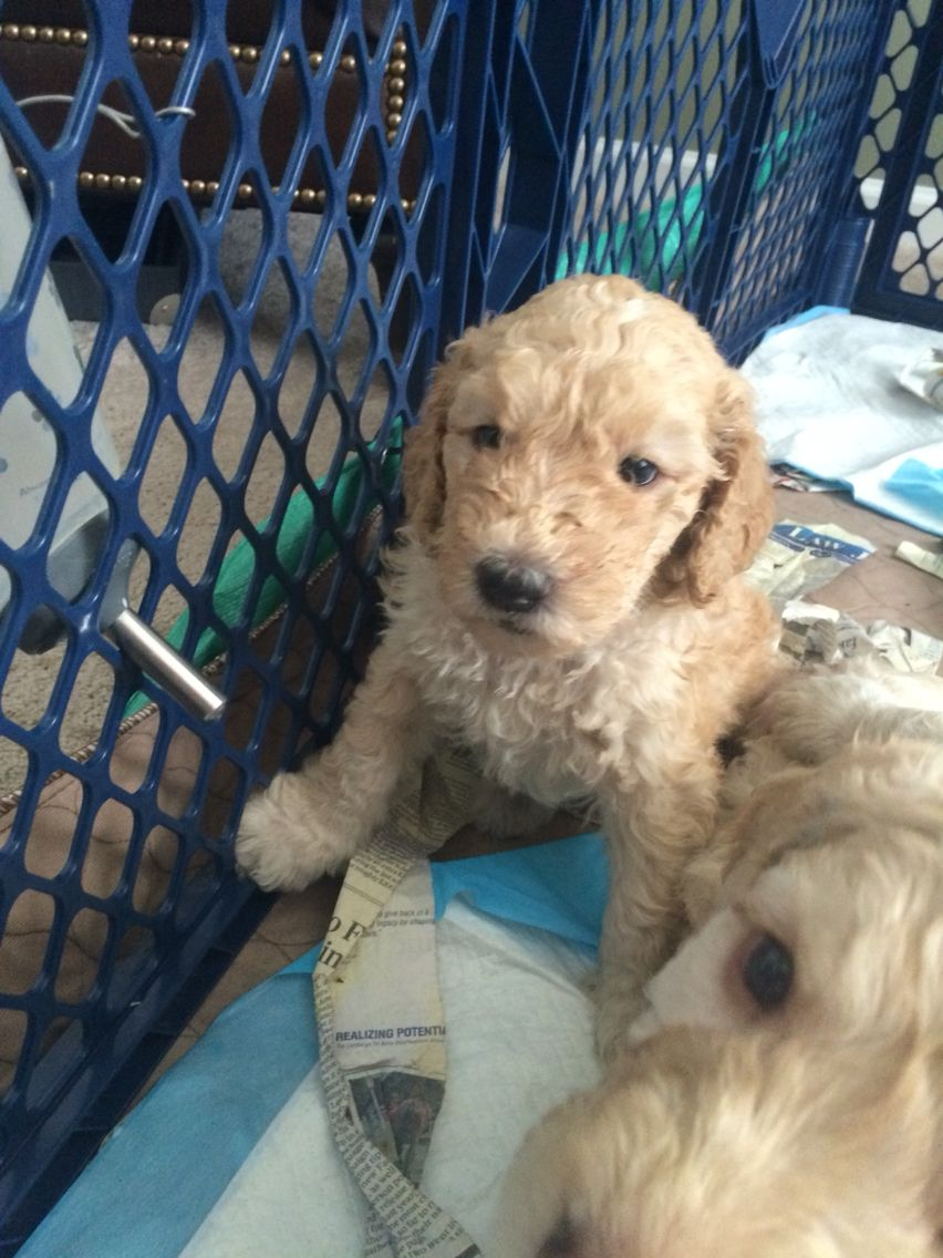 Learning to drink water from water bottle Goldendoodle