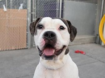 Pictures Of Bruno Brunelli Happy Face A American Bulldog For Adoption In Nyc Ny Who Needs A Loving Home American Bulldog Pets Pet Adoption