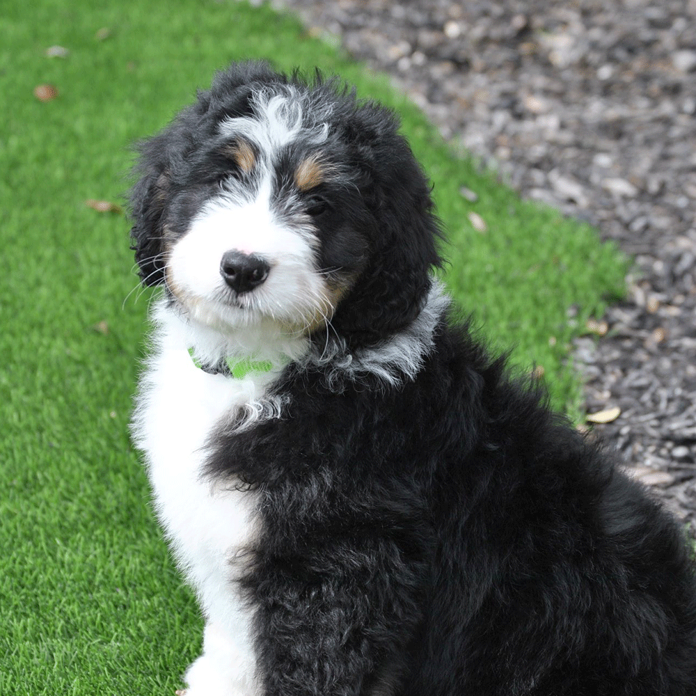 Ever Wondered What An Adult Bernedoodle Looks Like A Mix Between