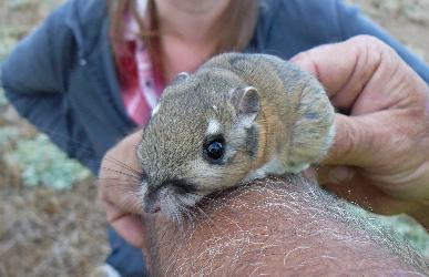 Stephens' kangaroo rat (Dipodomys stephensi (incl. D
