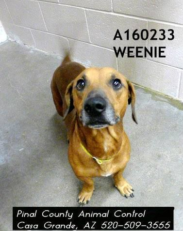TO BE DESTROYED* Pinal County Animal Shelter Animals NEED You PRELIMINARY EUTHANASIA LIST FOR 10-10-14 at 6am. This dog is on the list to be killed unless a firm commitment is made by 10-10-14 at 530am. Please share! WEENIE - ID#A160233 Status: OWNER SURRENDER Due Out Date: 09/10/2014 My name is WEENIE. I am a male, brown Dachshund mix. The shelter staff think I am about 5 years old.