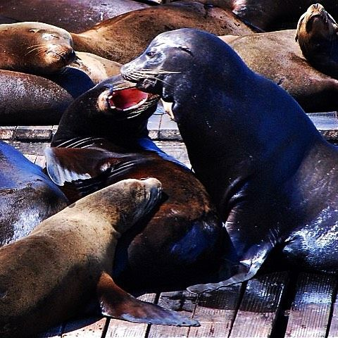 Lovers' quarrel #pier39 #sealion #sanfrancisco #california #wheredidtheygo #animals #summer #travel #ocean #destination #cantwealljustgetalong