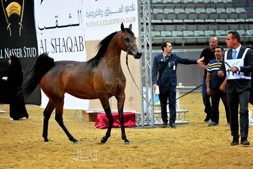 نجاح كبير لبطولة قطر المحلية الـ١٩ لجمال الخيل العربية الأصيلة Arabian Horse Horses Equestrian