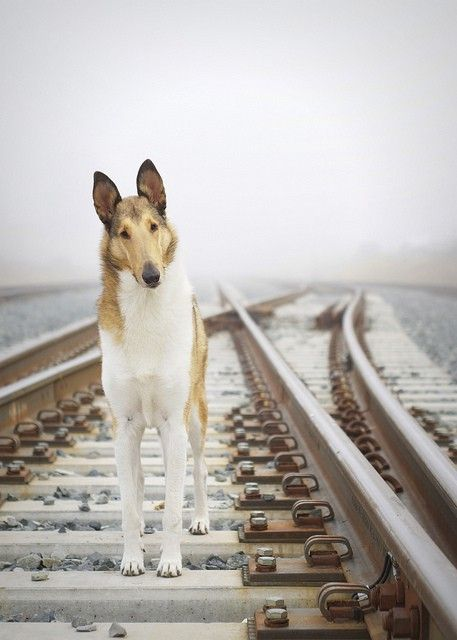 Smooth Sable Collie... I've seen that expression before! Wonderful dogs.