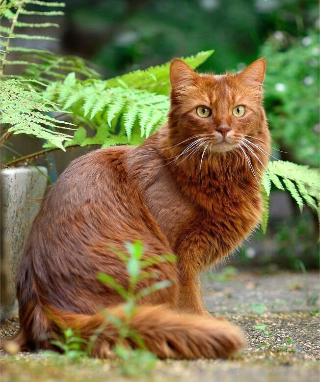 Сомалийская кошка (фото): идеальный компаньон для весёлых людей