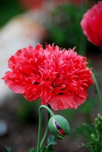 Red double Poppy