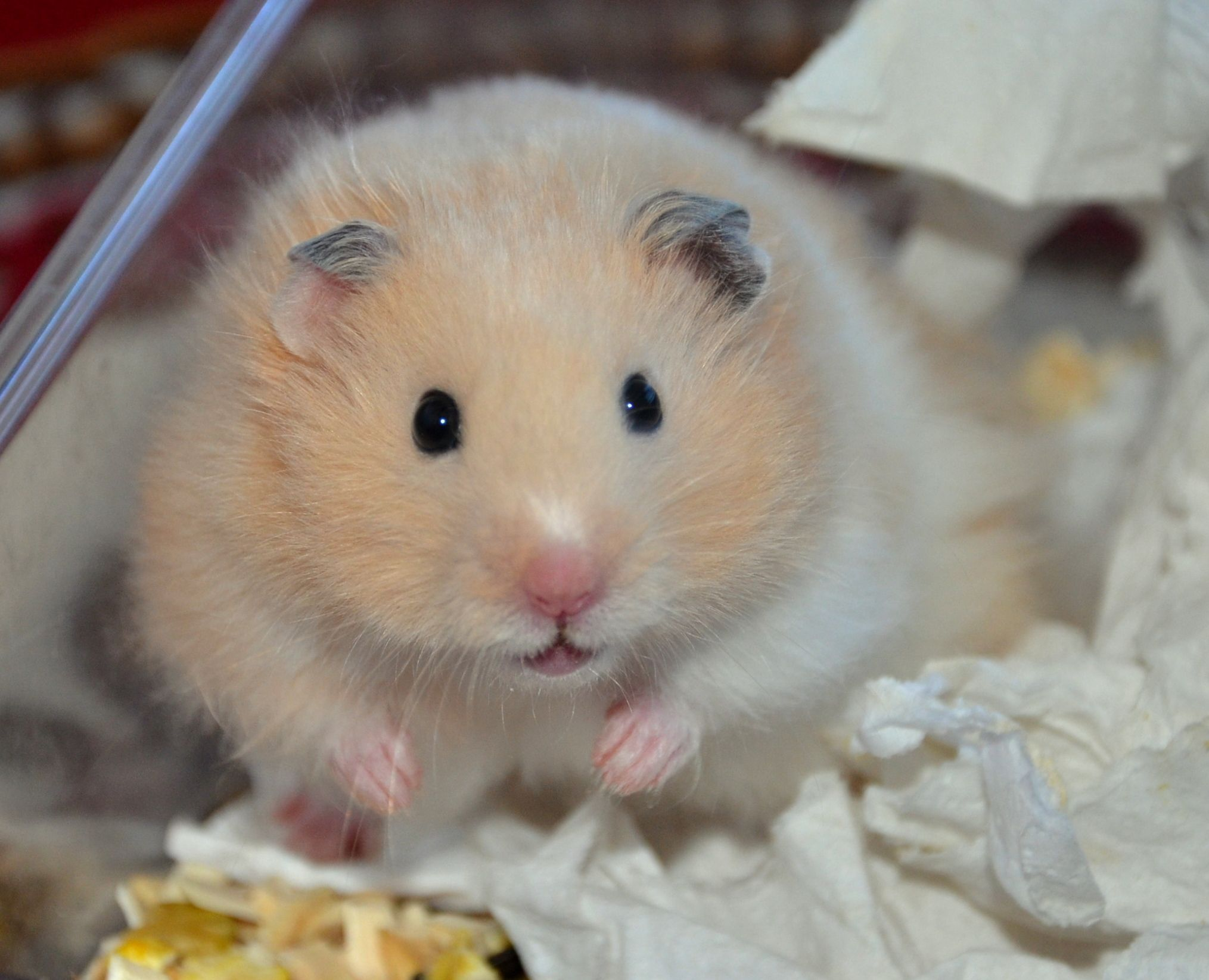 Damon Longhaired Whitebanded Black Eyed Cream Syrian Male C J Johtela Bear Hamster Hamster Best Pets For Kids