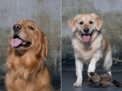 How 3 000 Very Good Golden Retrievers Could Help All Dogs Live