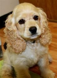 Sophie In Nc Cocker Spaniel An Adoptable Dog In Westminster Md 애견 귀여운 강아지 강아지
