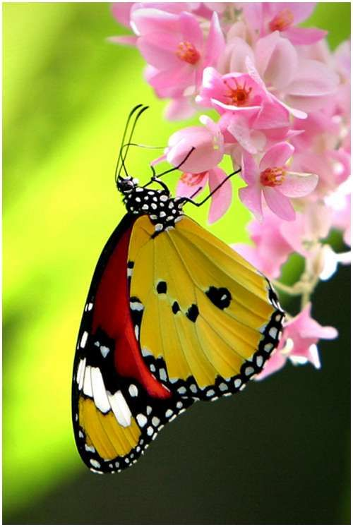 beautiful butterfly on pink