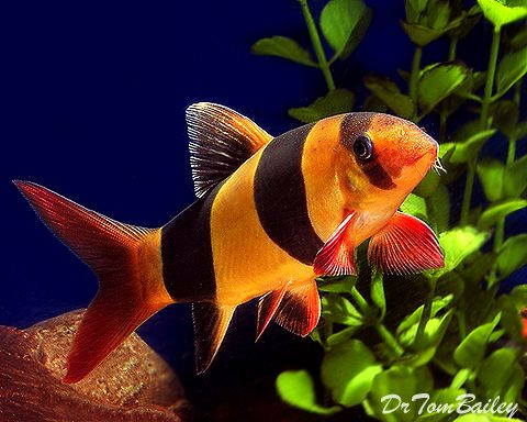 Buy clown loaches at where you can shop for Freshwater clown fish