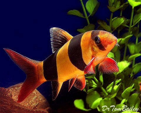 Buy Clown Loaches At Aquariumfish Net Where You Can Shop Online For A Loach Is Fun Pet Fish Tropical Fish Tanks Fresh Water Fish Tank