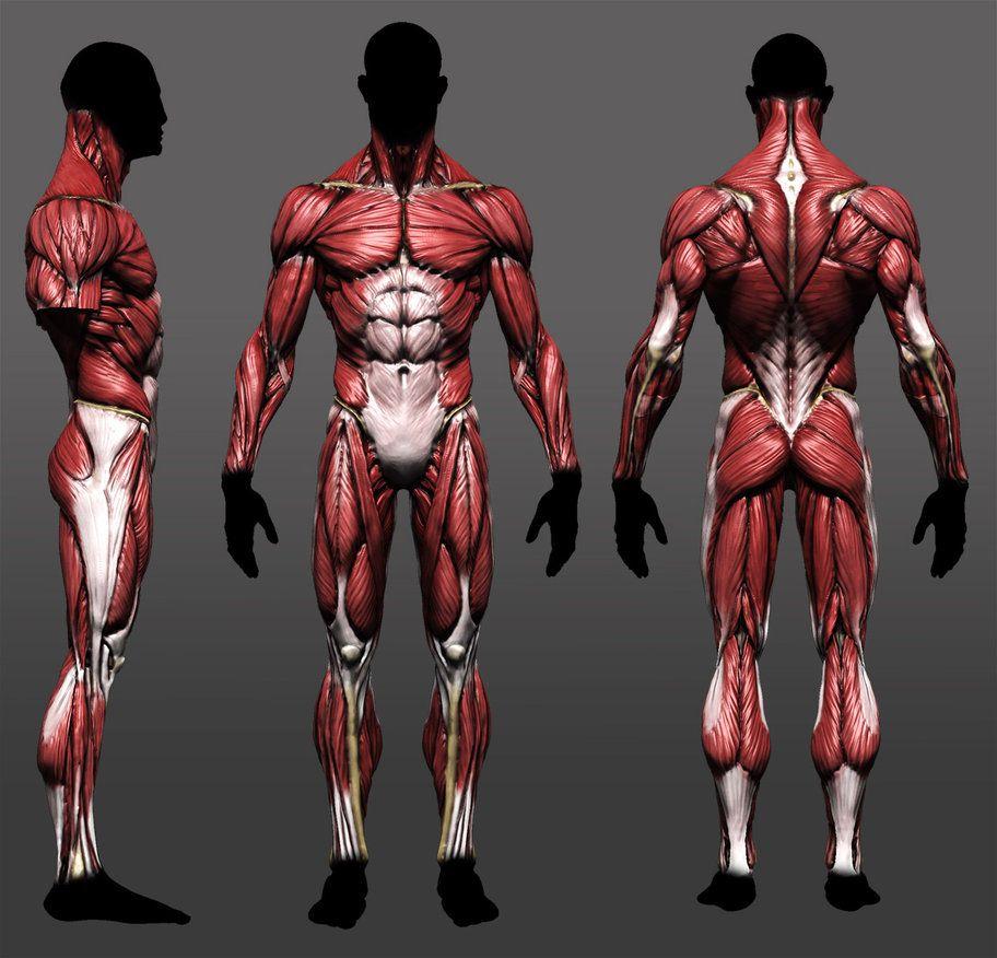anatomy | tutorial | Pinterest | Anatomía, Músculos y Anatomía muscular