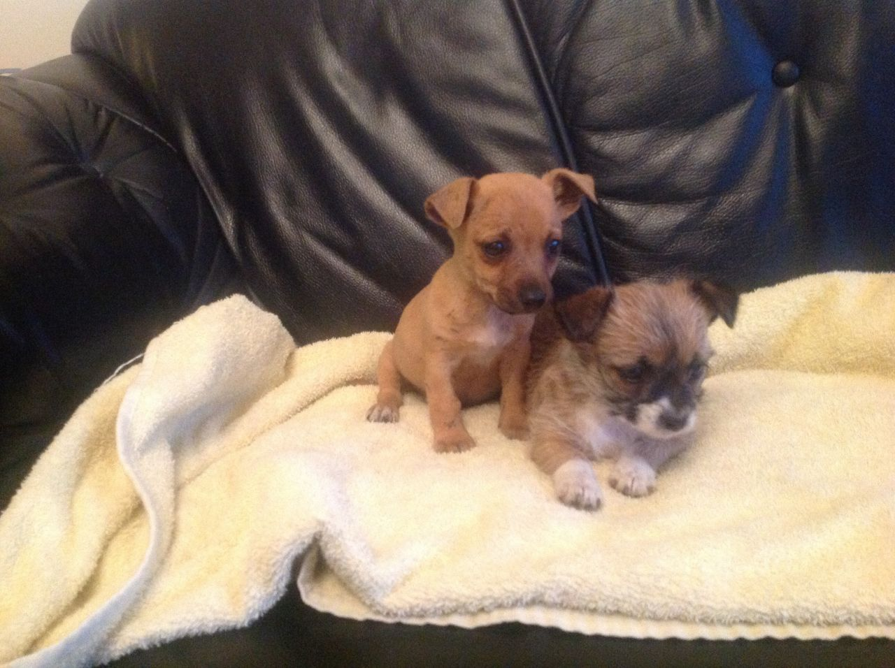 Chihuahua X Jack Russell Puppies For Sale 51d333c893b57 Jpg 1280 956 Jack Russell Puppies Jack Russell Cute Little Dogs