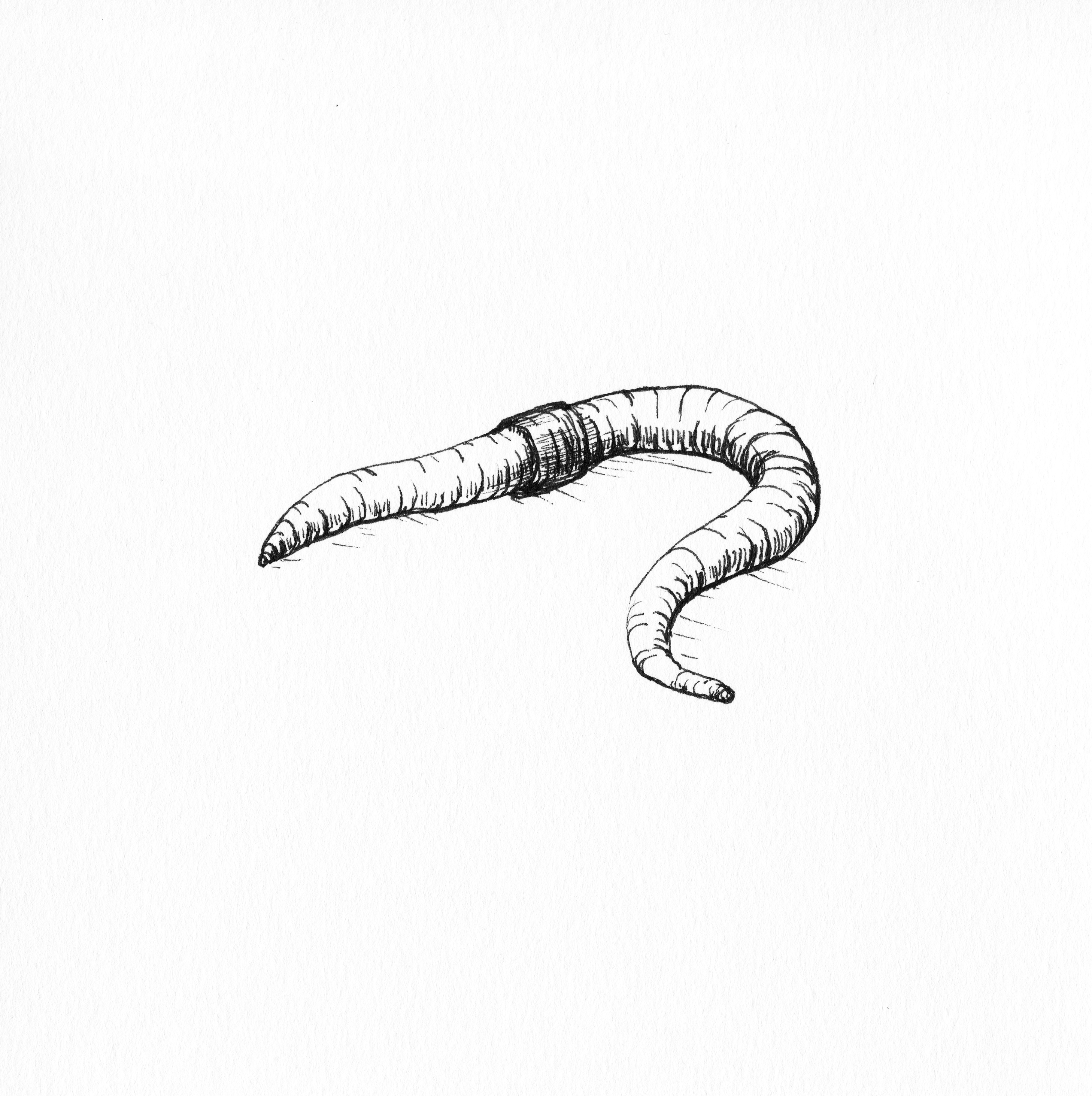 The Earth Worm In 2020 Nature Sketch Worm Drawing Earthworms