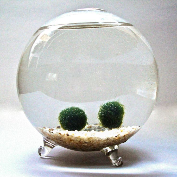 moss balls in a water terrarium. delightful. / Marimo