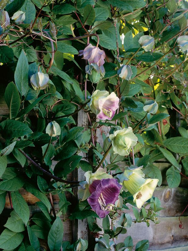 14 perennials for full sun climbers plants and cups cup and saucer plant is fast sprinting climber cobaea scandens cup and saucer vine smell like honey sun to part shade mightylinksfo