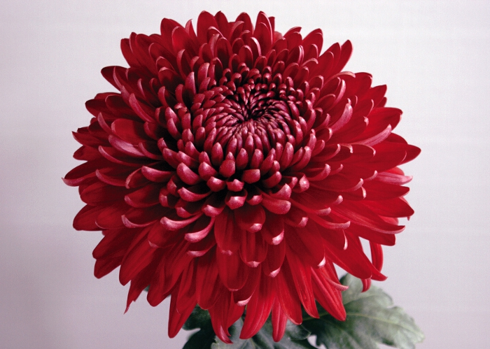 Red Chrysanthemums Meaning Red Chrysanthemums Chrysanthemum Flower Chrysanthemum Meaning