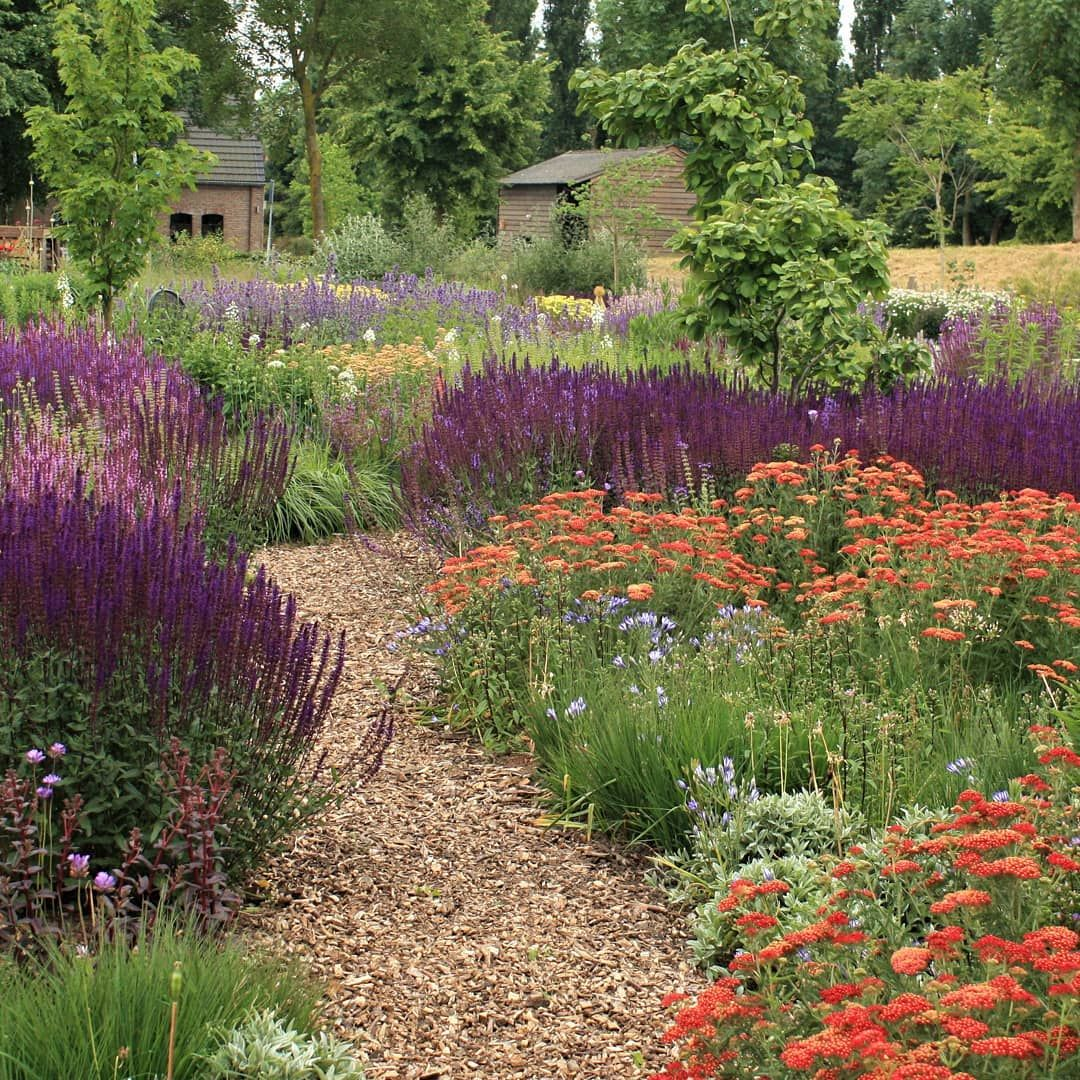 Jelle Grintjes On Instagram An Exciting Colorcombo These Salvia Caradonna And Achillea Paprika Together They Are Almost Unbeatab Salvia Achillea Plants