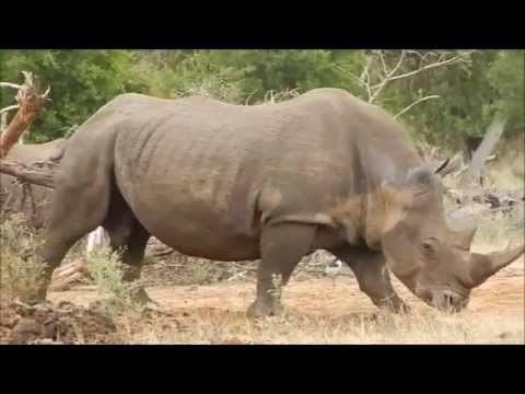 In Search of Rhino: Africa's Disappearing Icon - YouTube #rhino #LuvWildlfie