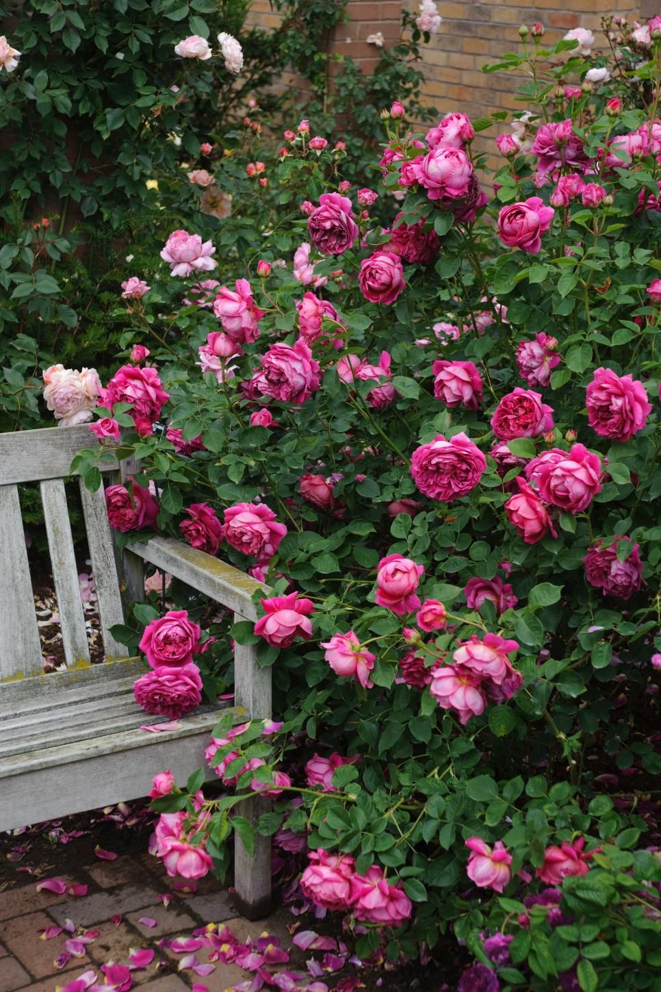 Most Beautiful Rose Gardens In The World the most popular english roses in america | david austin