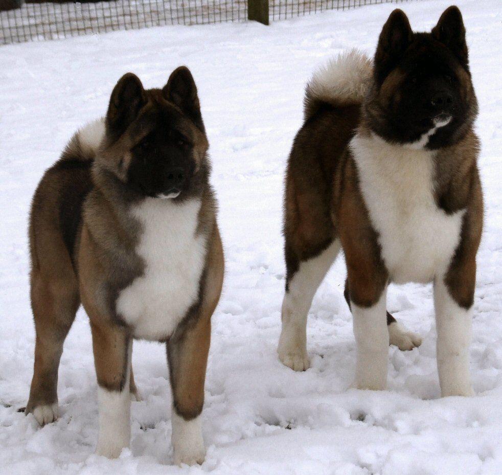 Akita My Fav Dogs Ever American Akita Akita Puppies Akita Dog