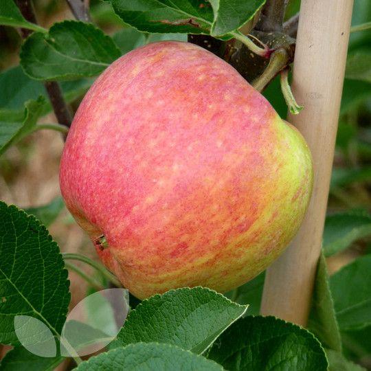 James Grieve Le Trees Online Fruit Blackmoor Nurseries