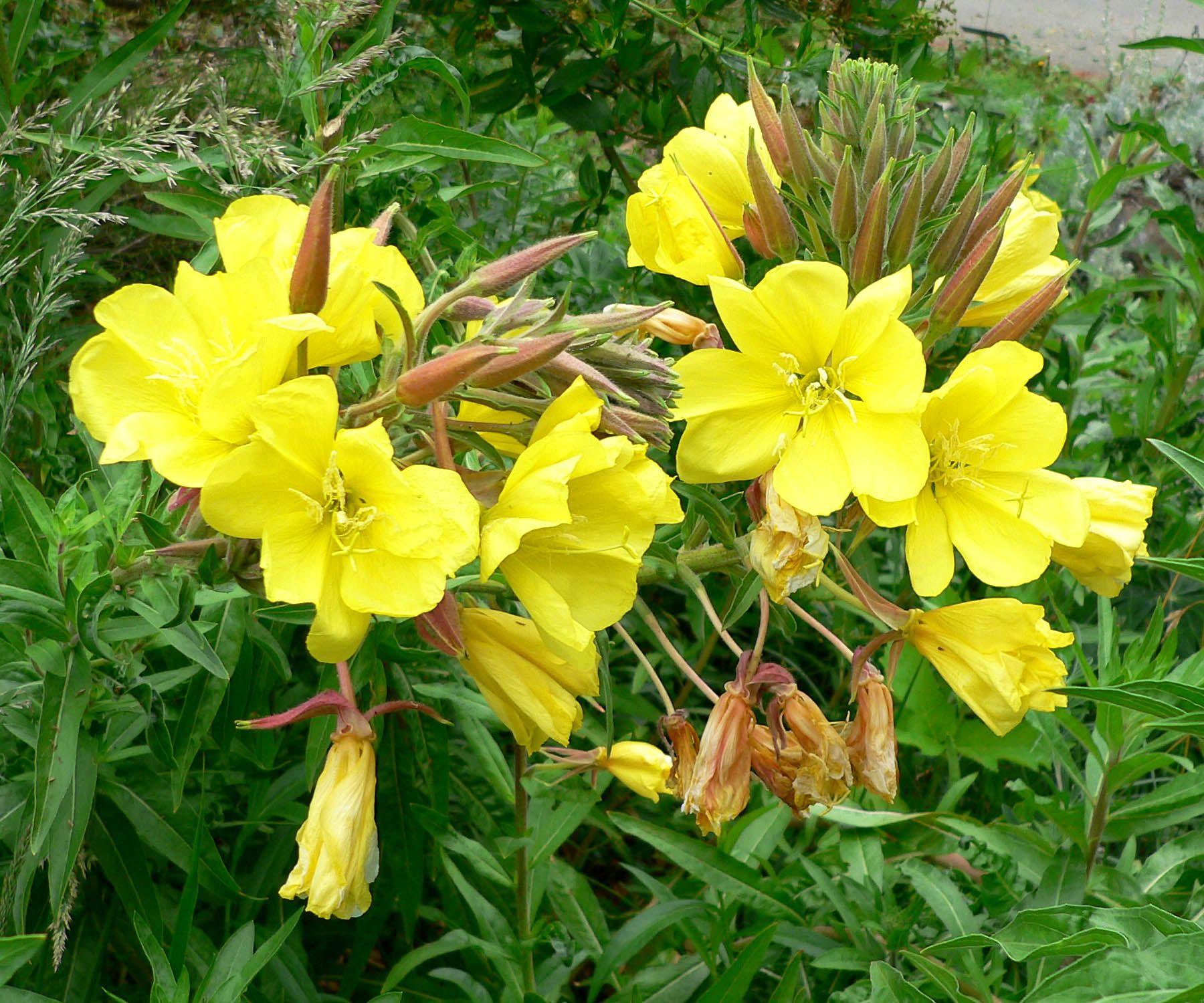 Oenothera Elata Ssp Hookeri  Google Search