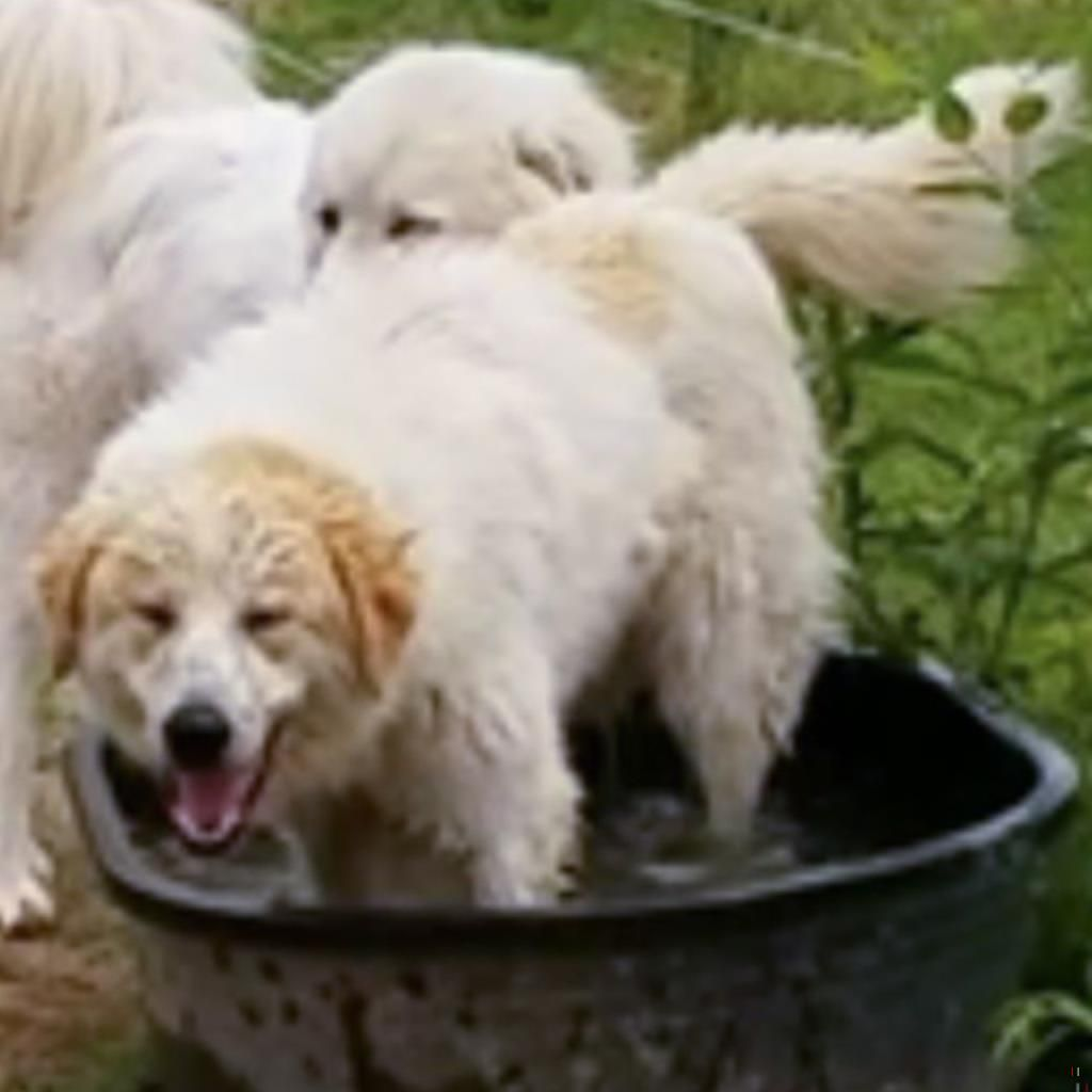 Back home dog great pyrenees clay township brookville
