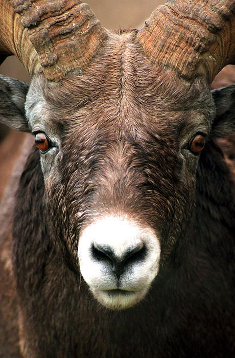 Extreme close up of a Bighorn Sheep.  Jasper National Park,Alberta,Canada. PHOTOGRAPH TAKEN BY TERRY ELNISKI