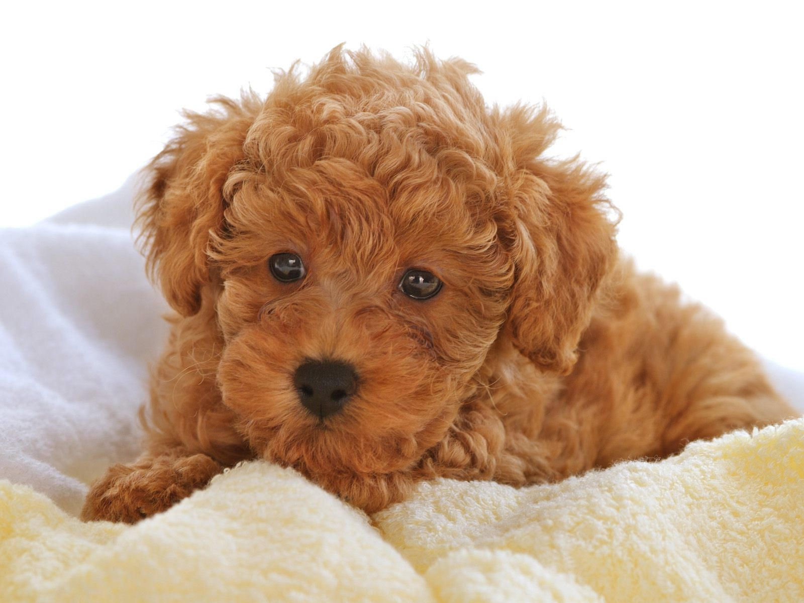Toy Poodle Puppies Red Color Pudel Welpen Niedliche Hunde