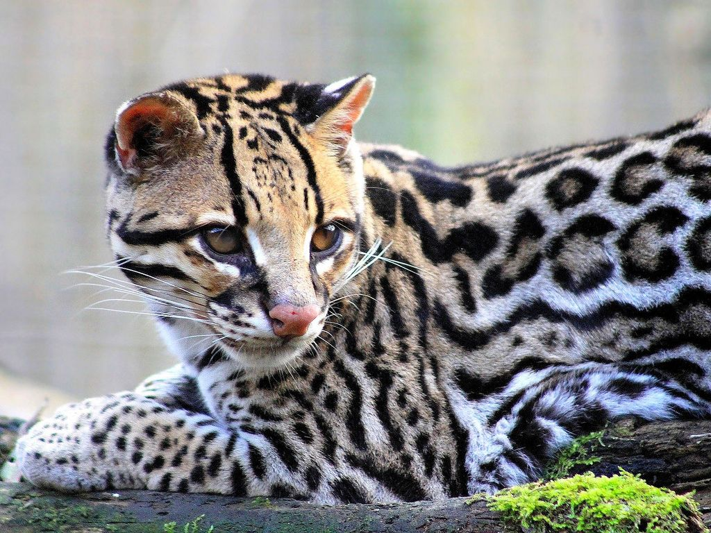Maroni l'ocelot Small wild cats, Ocelot, Wild cats
