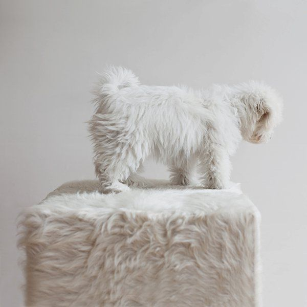 Where Does The Dog End And The Stool Begin White Fluffy Puppies White Dogs
