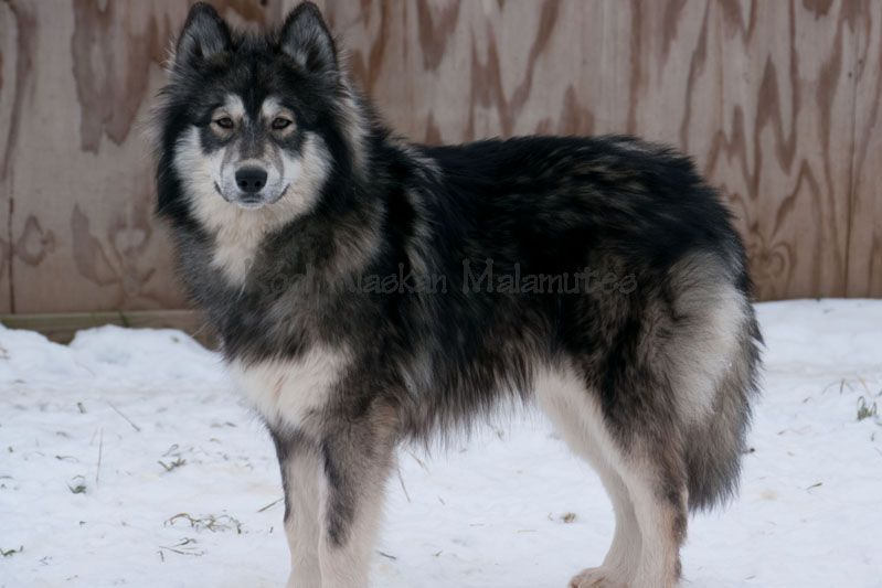 Closely Resembles My Late Dog Cherokee A Malamute Wolf Mix He