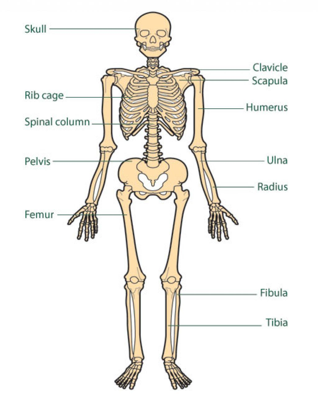 Muscular System For Kids Pictures Human Muscular System For Kids