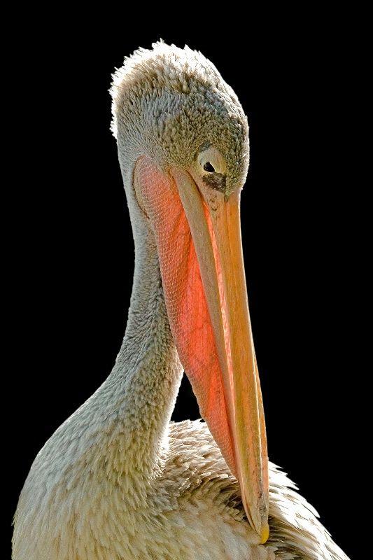 White Pelican Portrait - Photograph at BetterPhoto.com
