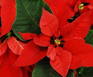 Types Of Poinsettia Plants Choosing Different Poinsettia Varieties Poinsettia Plant Plants Poinsettia Care