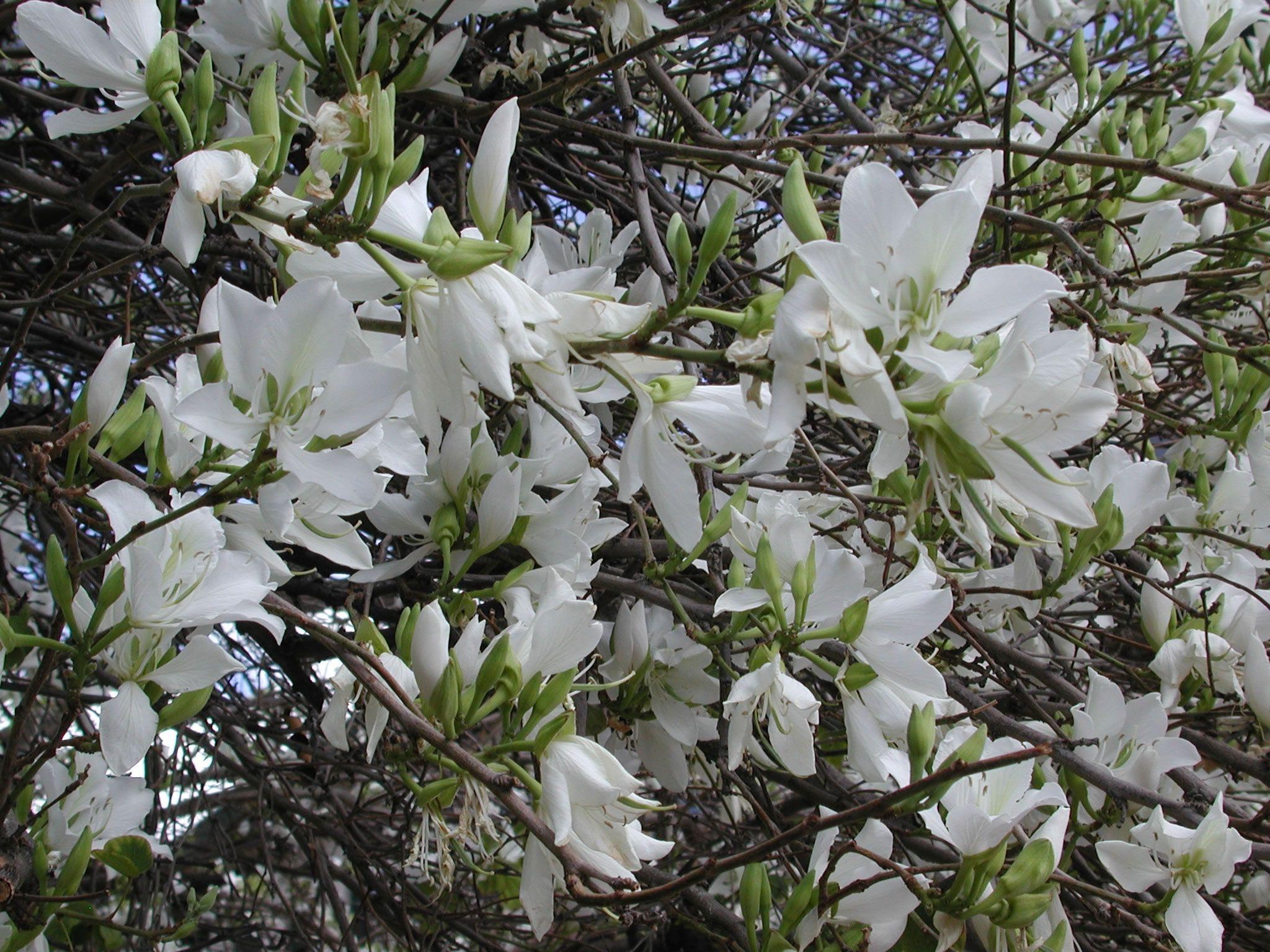 bauhinia variegata 39 candida 39 fleurs et plantes blanches et argent pinterest argent. Black Bedroom Furniture Sets. Home Design Ideas