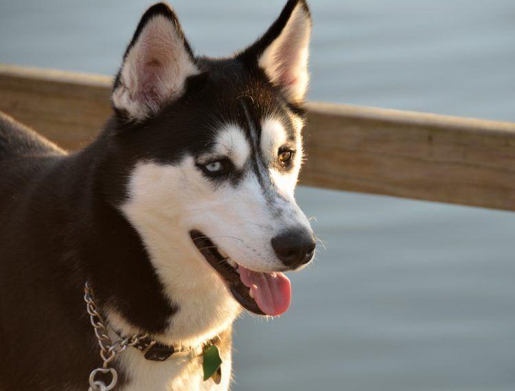 10 Things You Didn T Know About The Alaskan Husky Alaskan Husky