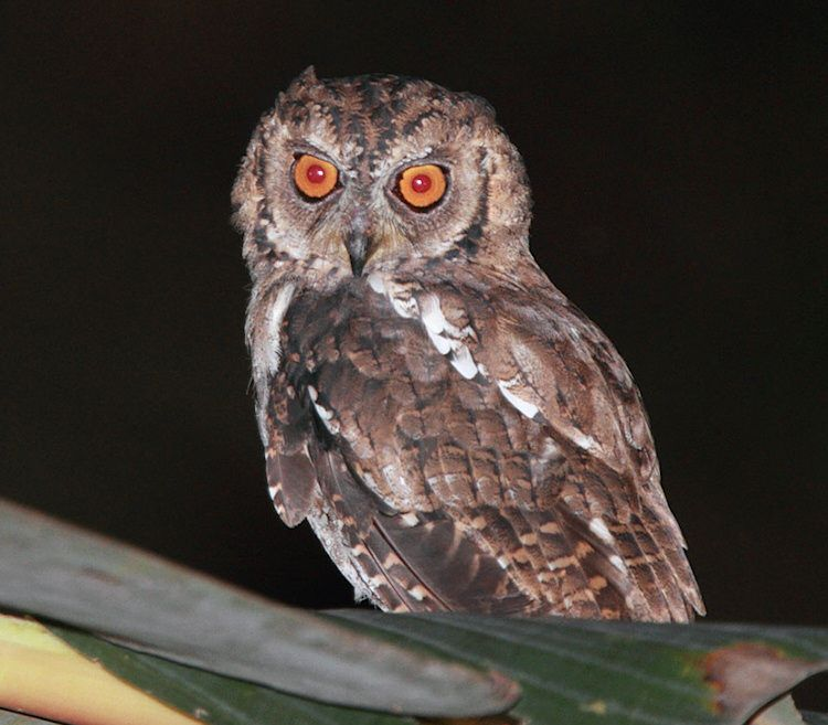 Moluccan Scops Owl (Otus magicus). Photo by Rob Hutchinson.