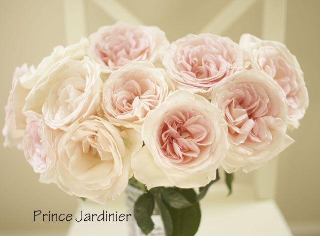 The Blush Pink Rose Study Prince Jardinier great fragrance short