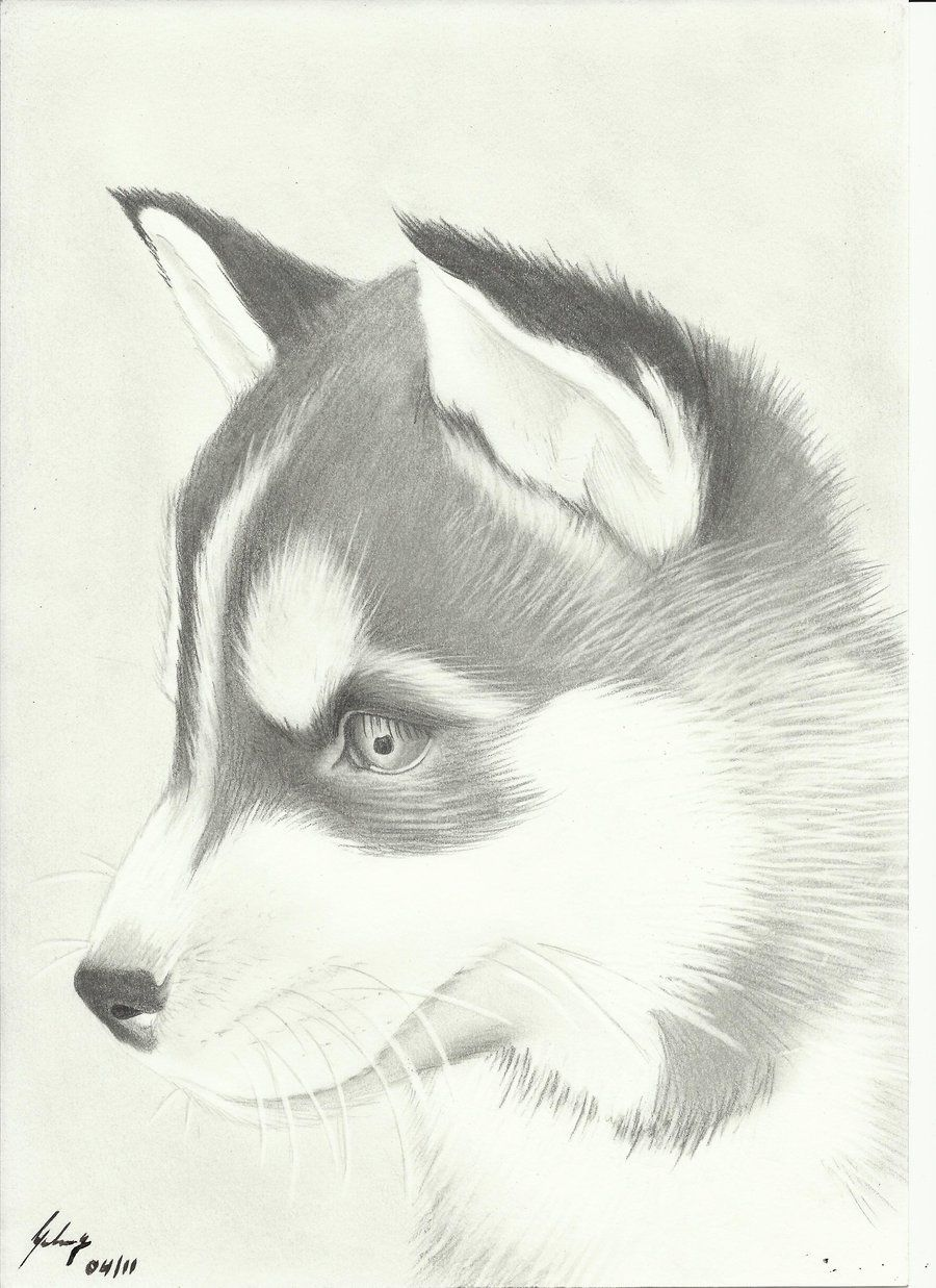 Cute husky drawing amazing wallpapers resimkoy drawings of dogs