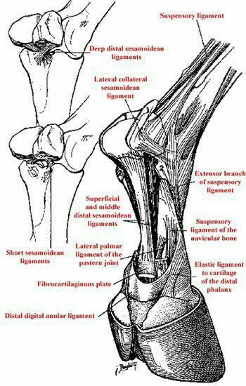 ligamentos d pata | Horses | Pinterest | Caballos, Anatomía y ...
