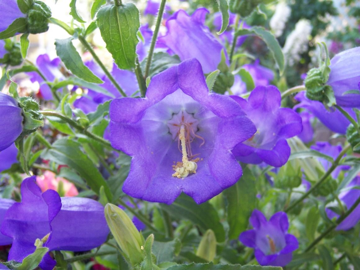 Bellflower Campanula Sp Amazing Flowers Campanula Cool Plants