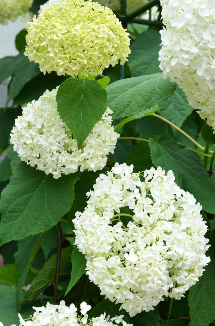 咲き進むと色が変わる 育てやすい人気のアジサイ アナベル Lovegreen ラブグリーン アジサイ ガーデニング 花 色