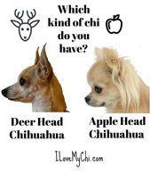 Haben Sie einen Apfel oder HirschkopfChihuahua? kleiner