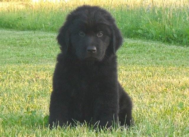 Newfoundland Puppies For Sale Akc Newfoundland Puppies For Sale Adoption From Roseau Minnesota Newfoundland Puppies Puppies For Sale Newfoundland