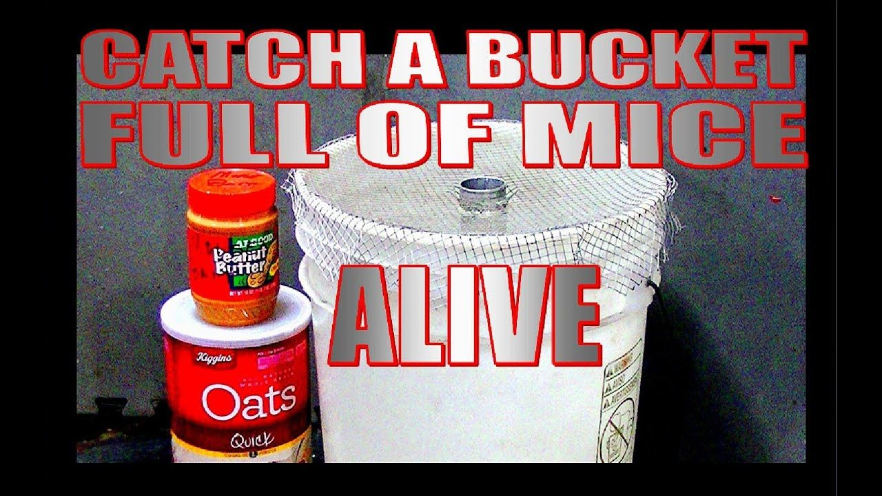 Catch a bucket full of mice alive youtube homemade