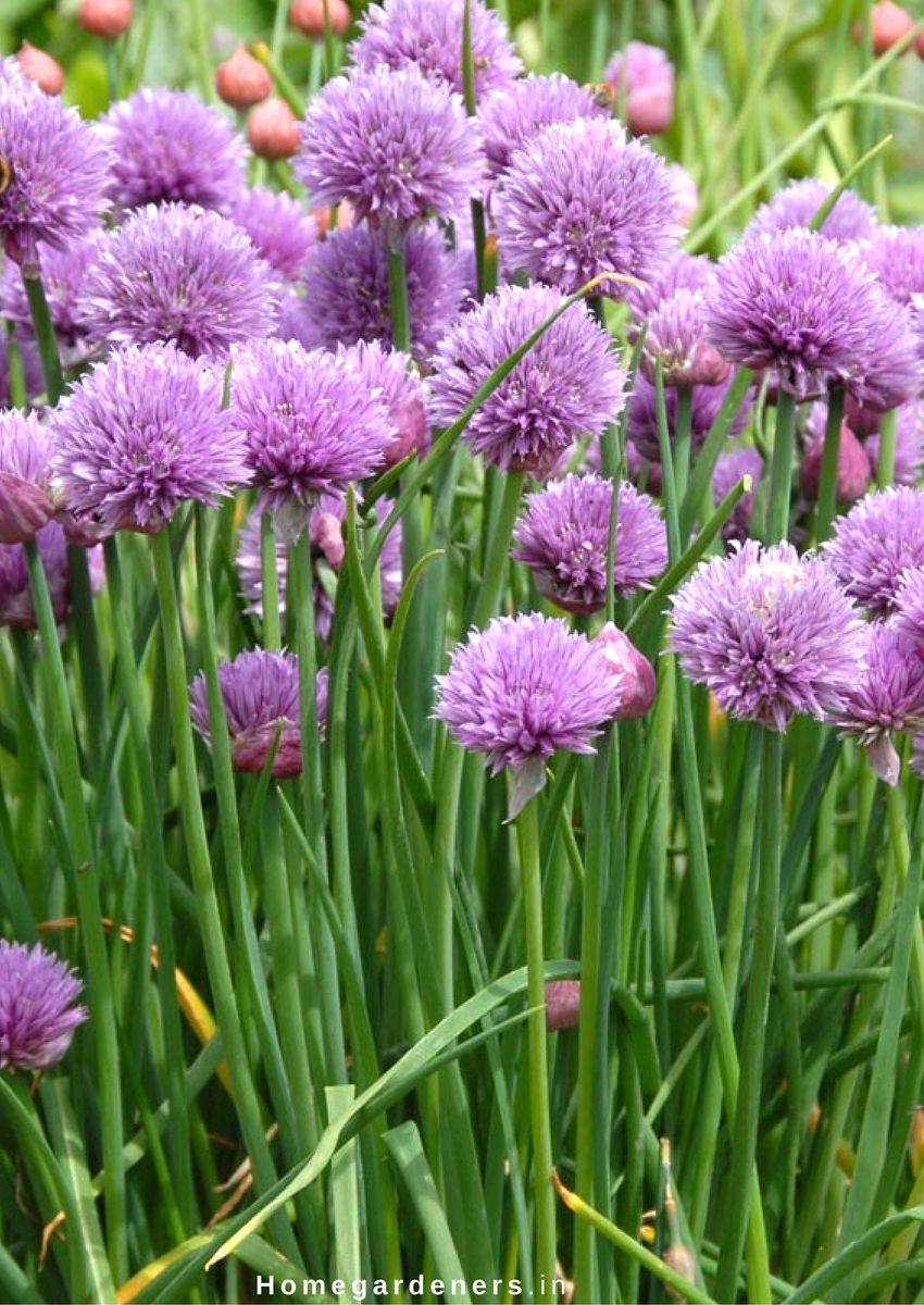How To Grow Chives Bentley Seeds