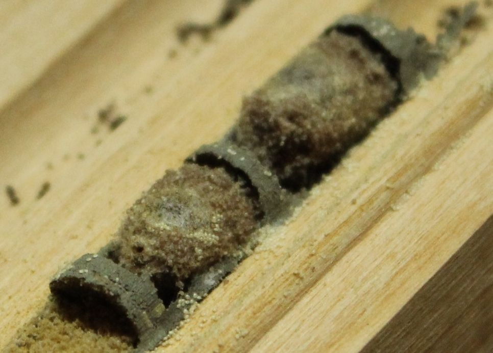 Orchard Mason Bee cocoons